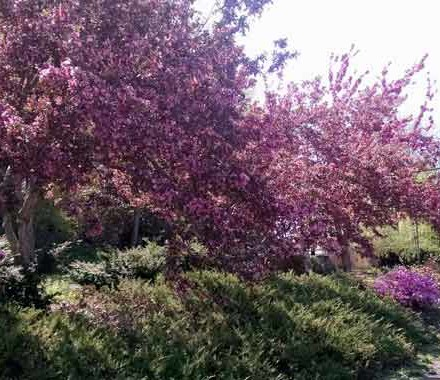 Crabapple-trees-in-bloom